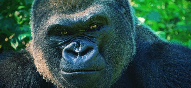 Gorilla Glue Automatic: Say hello