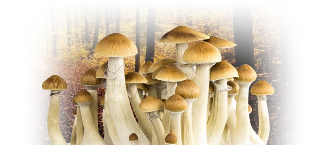 MAGIC MUSHROOMS: EVERYTHING YOU NEED TO KNOW
