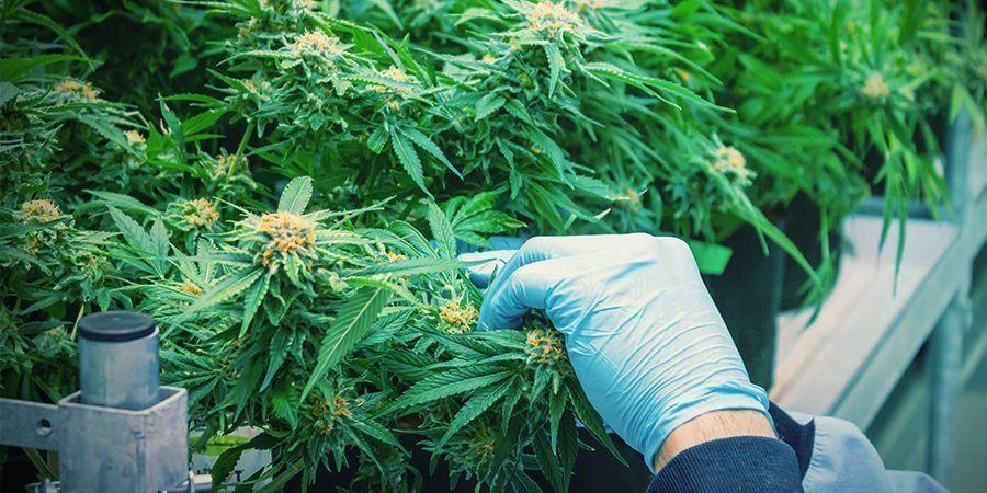 Wie Man Mehrmals Pro Jahr Cannabis Erntet