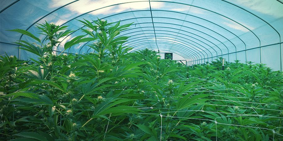 Outdoor - fortlaufende Cannabisernte