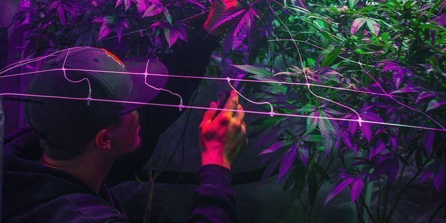 Deinen Anbaubereich Einrichten - fortlaufende Cannabisernte