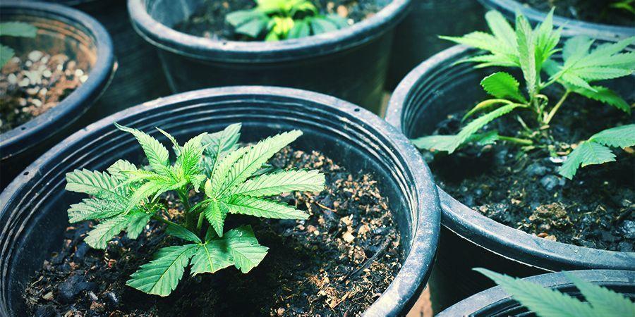 Klone Nehmen/Sämlinge Pflanzen - fortlaufende Cannabisernte
