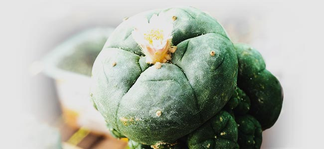 GRAFTED PEYOTE: A TWO-IN-ONE-BEAUTY