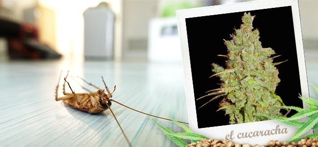 El Cucaracha (Super Strains)