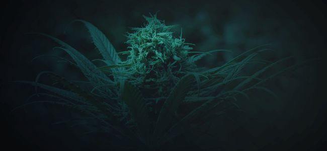 24–48 HOURS OF DARKNESS BEFORE CANNABIS HARVEST