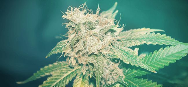 CHOOSE A STRAIN KNOWN TO PRODUCE LOTS OF TRICHOMES