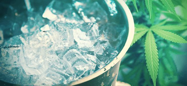 WATERING CANNABIS PLANTS WITH ICE WATER