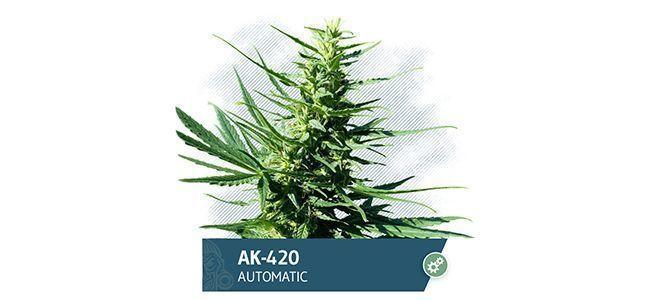AK-420 (Zamnesia Seeds)