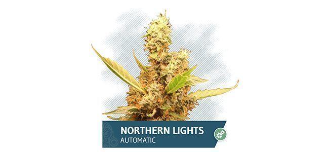Northern Lights Automatic (Zamnesia Seeds)