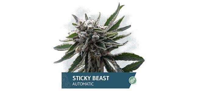 Sticky Beast Automatic (Zamnesia Seeds)