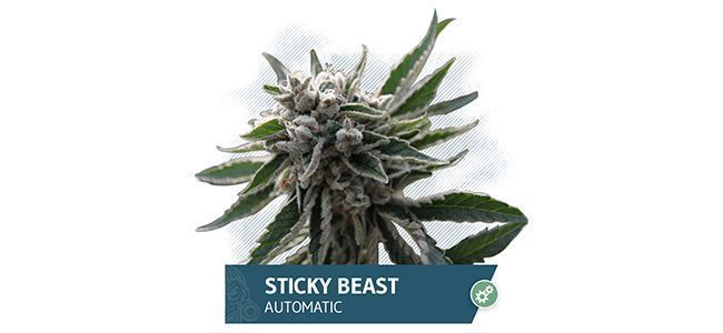 Sticky Beast Automatic (Zamnesia Seeds)