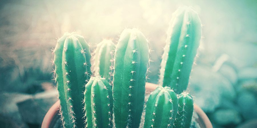 Too Much Sun Is Bad For A San Pedro Cactus