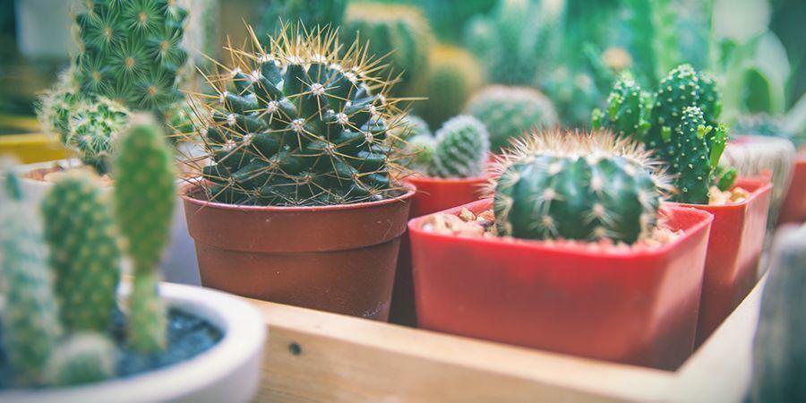 Fehler Die Kaktuszuchter Machen Und Wie Man Sie Behebt Zamnesia Blog