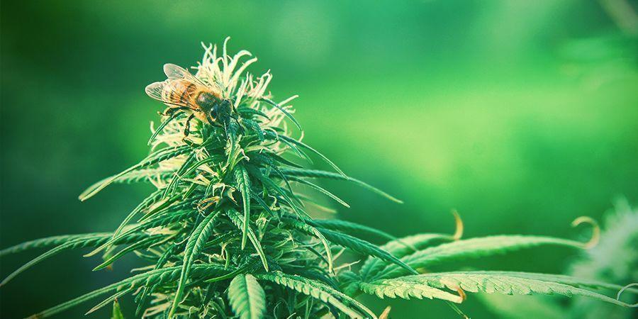 Zamnesia präsentiert: Pollen von Holy Seeds Bank