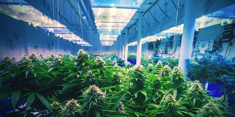 Wie Du Deine Cannabis Sorte Stabilisierst