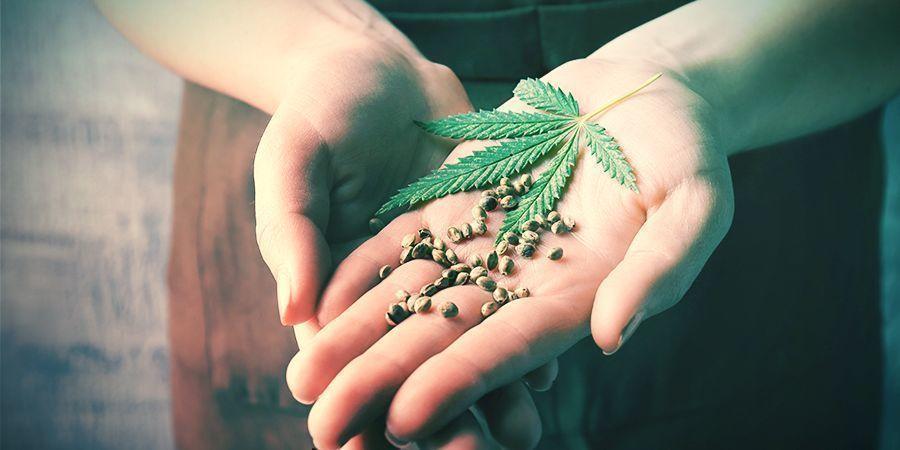 Vorteile Des Rückkreuzens Cannabispflanzen