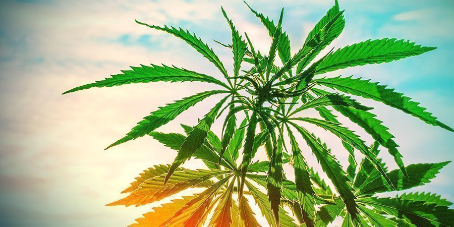 hot temperatures cannabis plants
