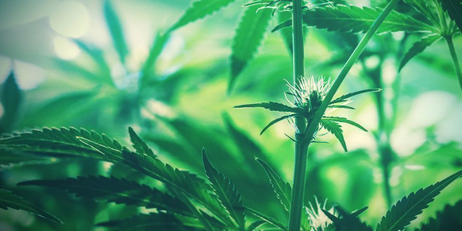 young cannabis buds