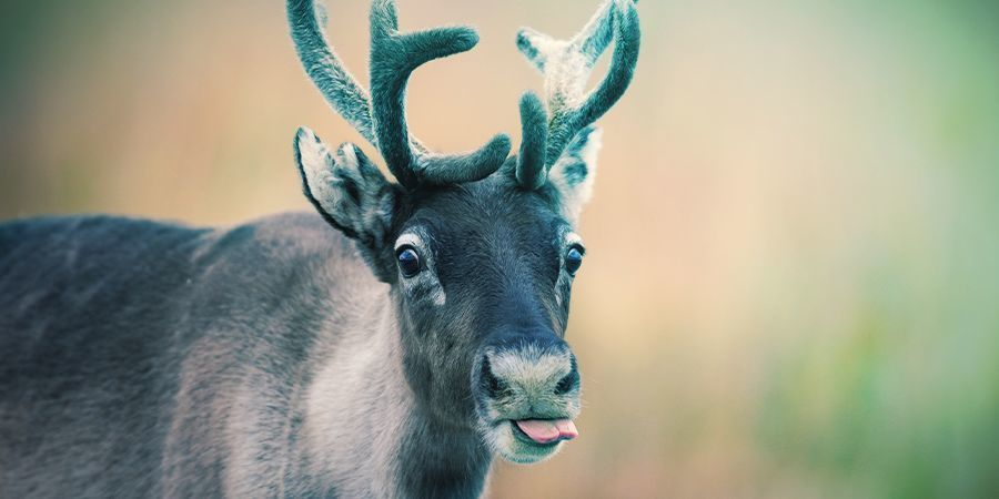 Reindeer That Love To Get High - Fly Agaric