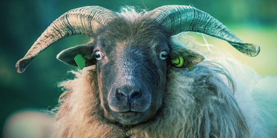 Bighorn Sheep That Love To Get High - Narcotic Lichen