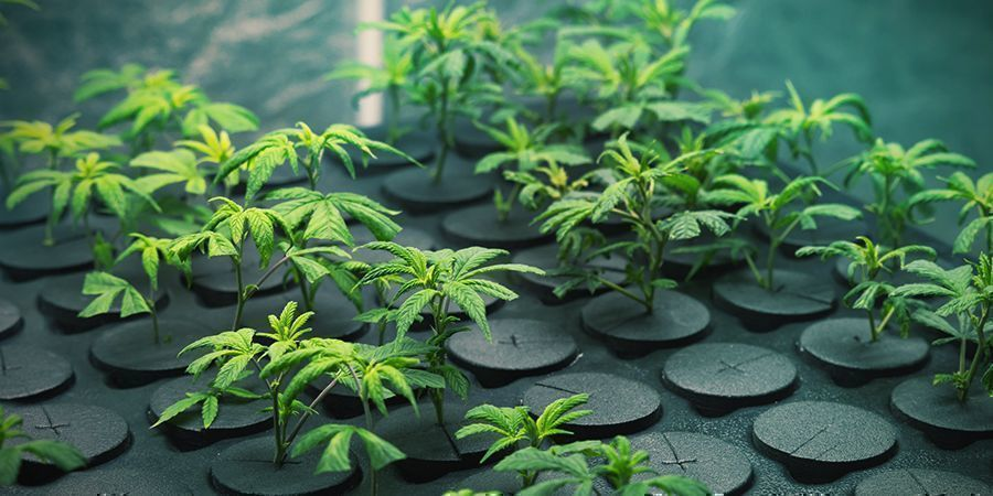 GROWING CANNABIS WITH CLONES: ADVANTAGES