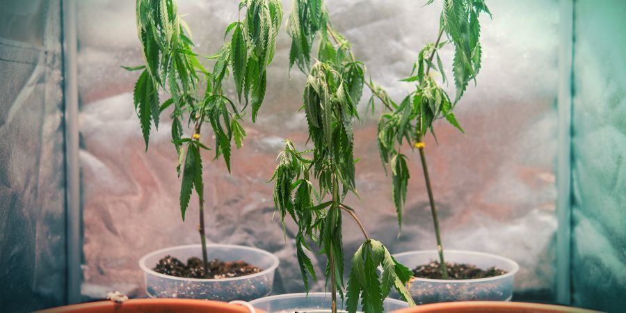 GROWING CANNABIS WITH CLONES: DISADVANTAGES