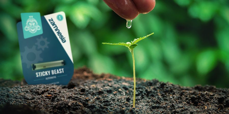 GROWING CANNABIS WITH SEEDS: ADVANTAGES