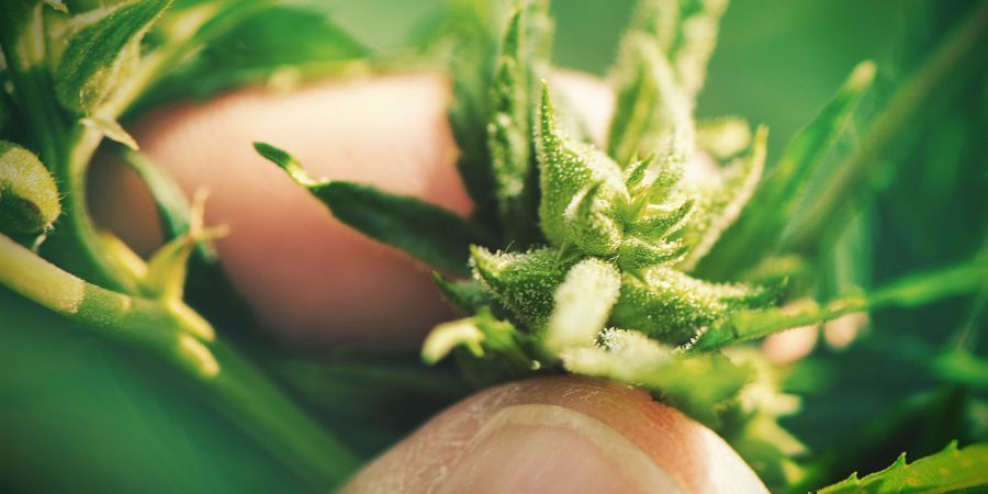 GROWING CANNABIS WITH SEEDS: DISADVANTAGES