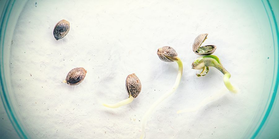 WHAT'S THE DIFFERENCE BETWEEN CANNABIS SEEDS AND CLONES?