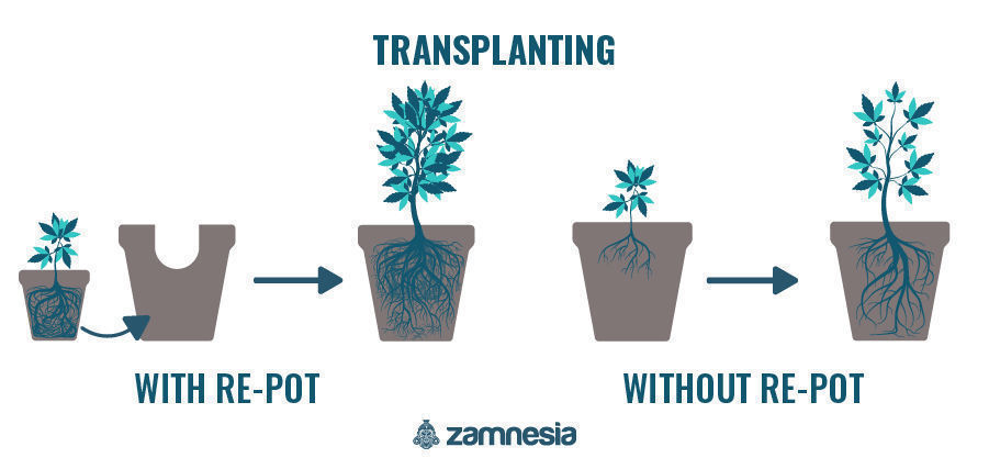 Transplanting Your Cannabis Plants