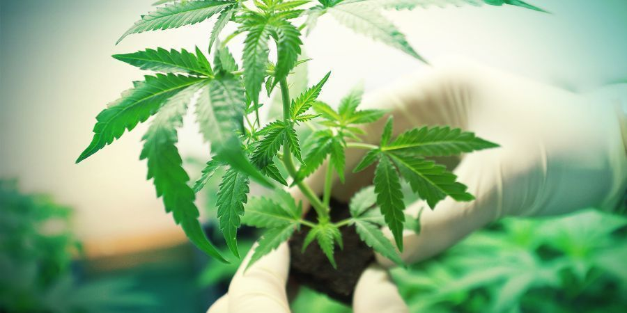 TEST YOUR SKILLS AS A CANNABIS GROWER