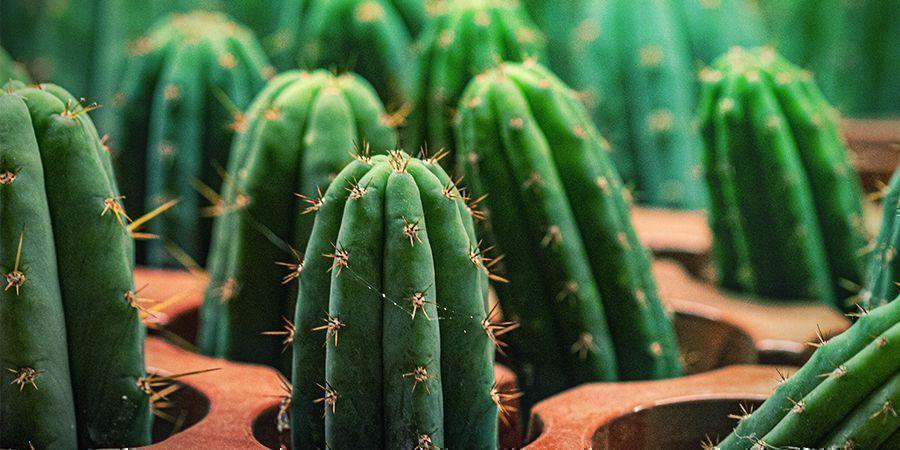 Der Peruanische Stangenkaktus Hat 10 Mal Mehr Meskalin Als Der San Pedro Kaktus