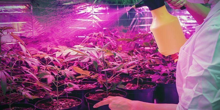 Der Cannabisanbau Ist Nicht Immer Sauber