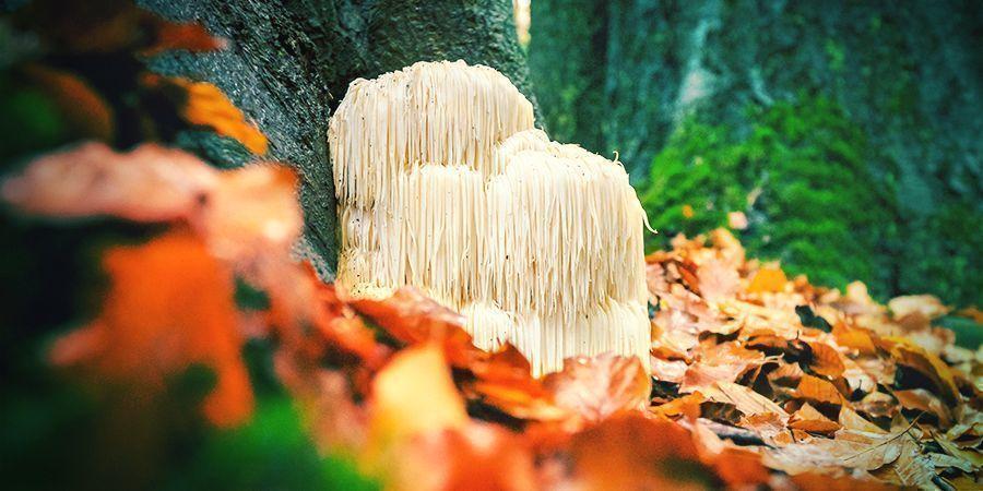 Lion's Mane — A Fungal Brain Tonic