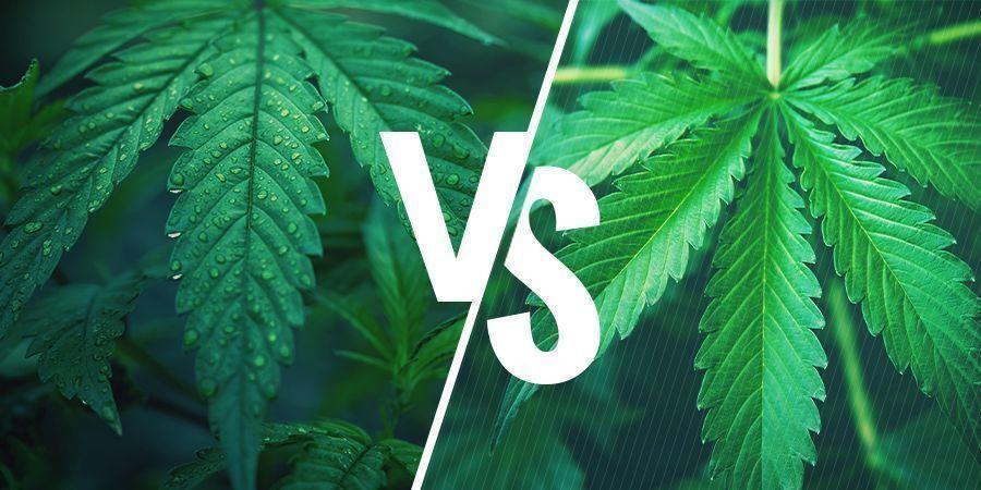 Indica Vs. Sativa – Die Wahl Der Richtigen Sorte Für Deine Cannabisesswaren