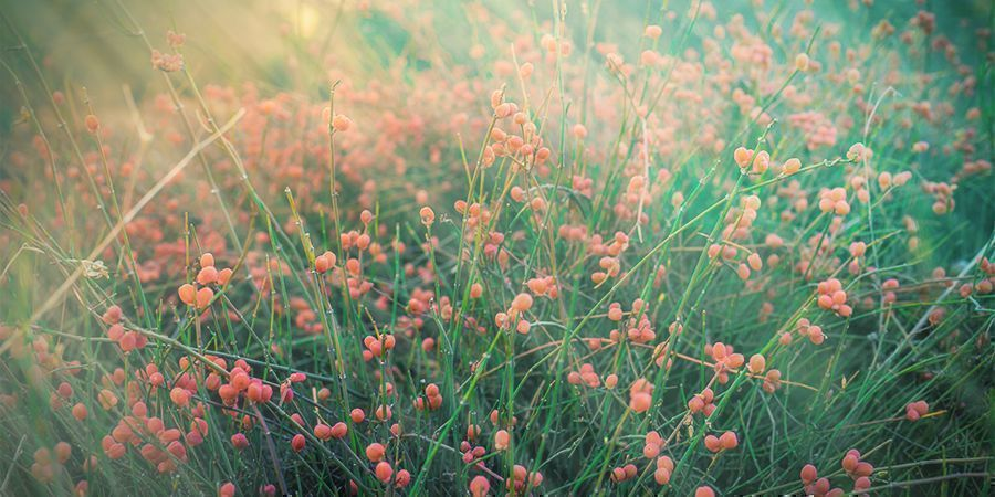 What Is Ephedra?