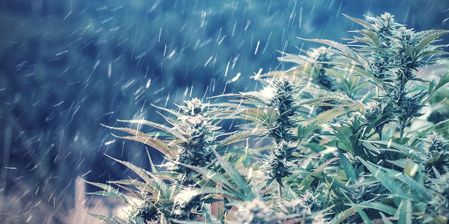 CAN YOU GROW WEED IN WINTER?