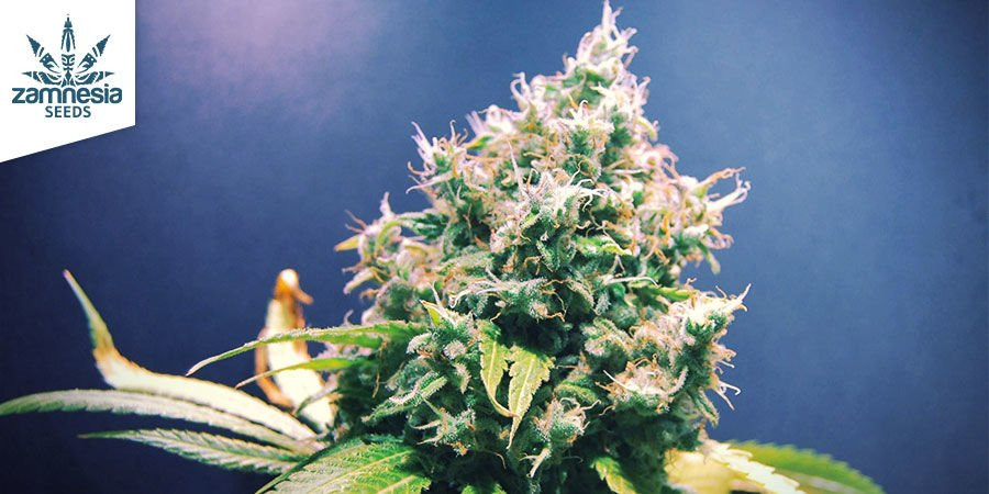 Lemon Power Haze — Zamnesia Seeds