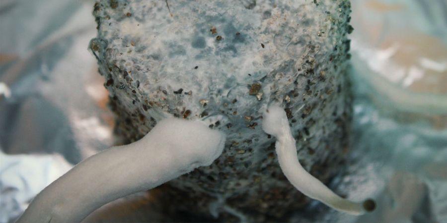 CAN MYCELIUM GET BRUISED AS WELL?