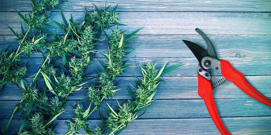 Harvest Cannabis