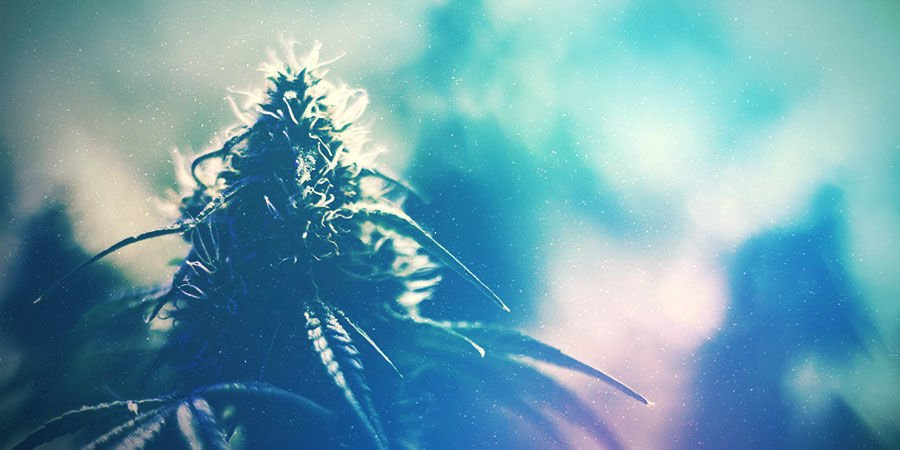 Growing The Right Strain For Your Cannabis Grow Room