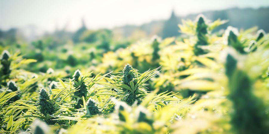 Baue Cannabis im Freien an, um auf einfache Weise Geld zu sparen