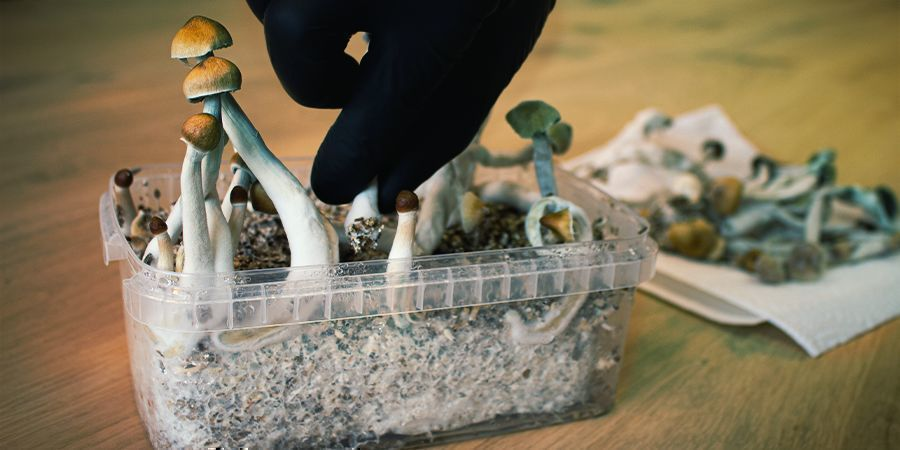 WHAT IS A MAGIC MUSHROOM FLUSH? WHEN DO I HARVEST IT?