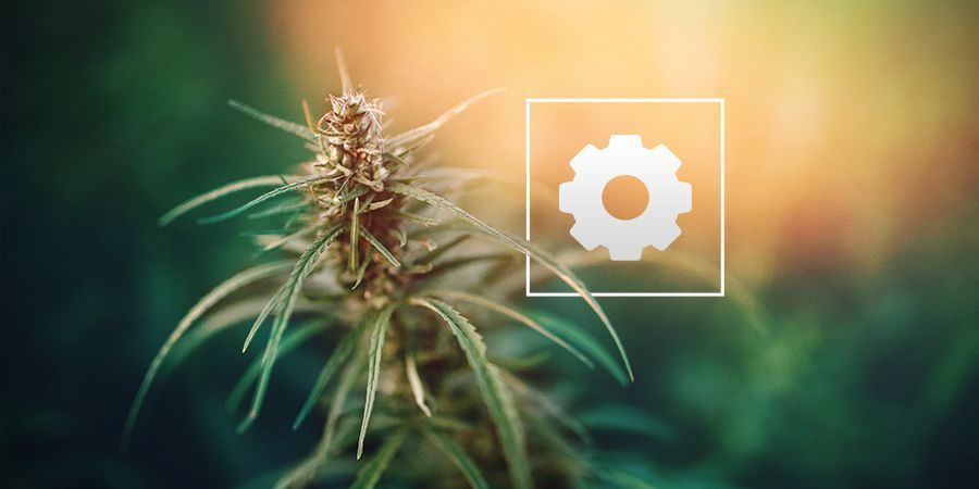How Much Sunlight Do Autoflowering Cannabis Plants Need?