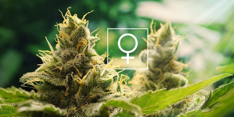 How Much Sunlight Do Feminized Cannabis Plants Need?
