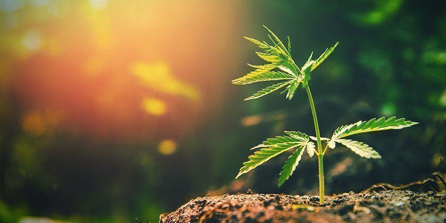 Too Much Sunlight Cannabis Plant