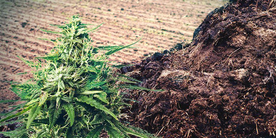 MANURE OR URINE Cannabis Fertilizer