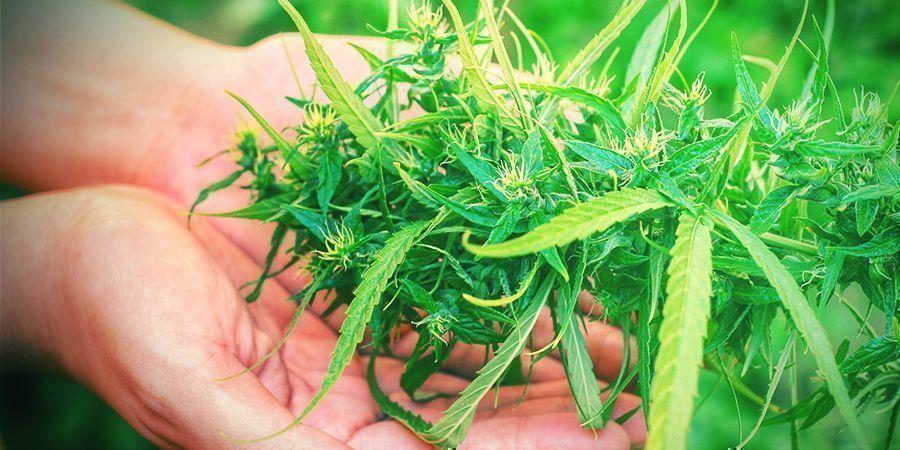 Warum Ist Die Ernte Eine Entscheidende Phase Des Cannabisanbaus?
