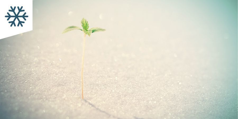 Growing Cannabis In A Cold Climate