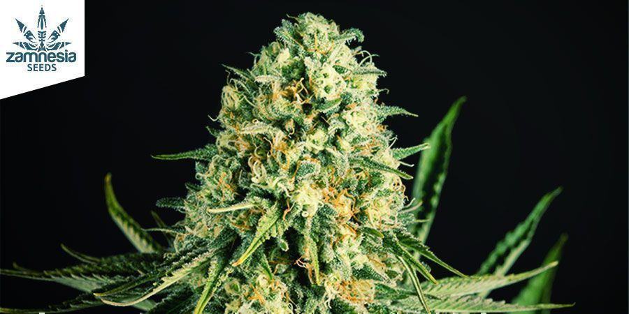 CRITICAL CHEESE AUTOMATIC (ZAMNESIA SEEDS)
